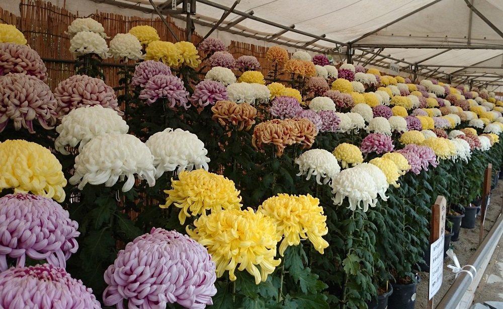 第67回 堺市菊花大会