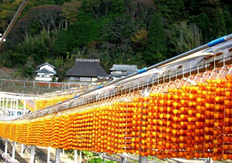 【募集中】観音山フルーツガーデン・ミカン狩りと串柿の里 四郷